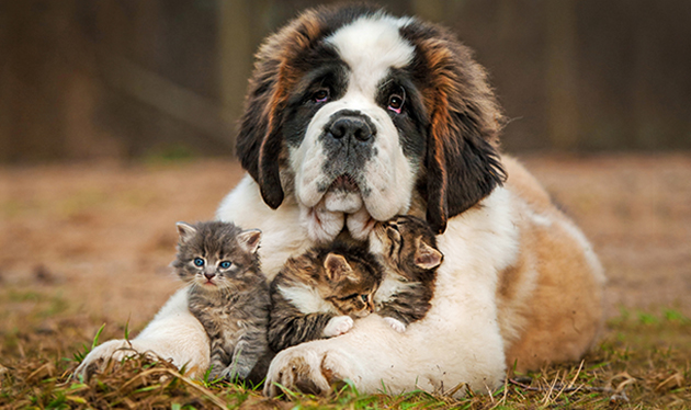 Dog and kittens cuddling.