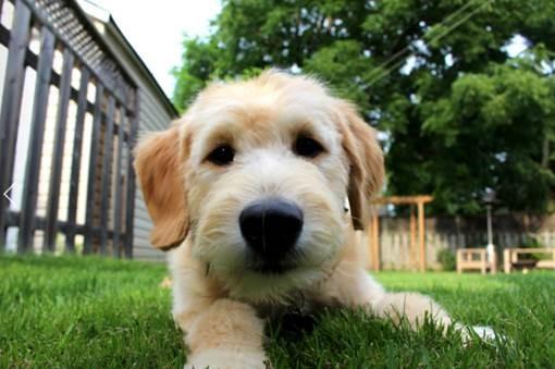 Puppy lying on green grass