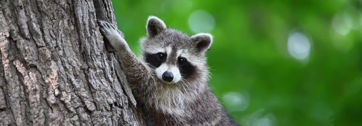 Young raccoon in a tree.